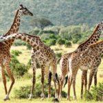 Mara-giraffes