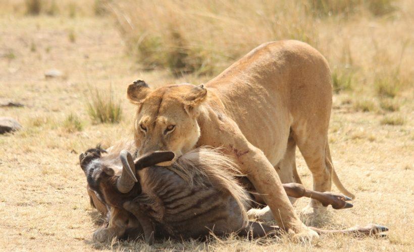 Lion-Mara-Hunting