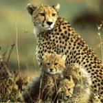 cheetah-mara-kenya