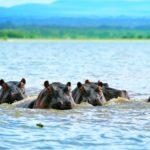 hippos-on-lake-Naivasha