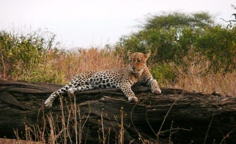 Samburu-leopard